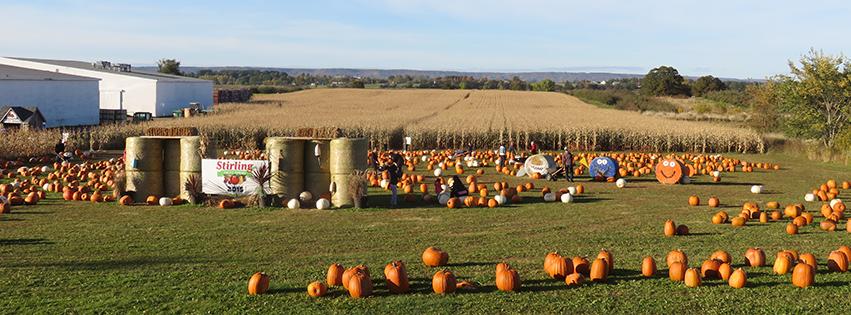 Pumpkins and a corn maze near Wolfville, NS